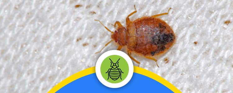 Bed Bug Control Downer