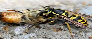 Bees and Wasp Control Downer