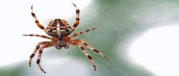 Spider Control Downer